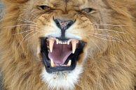Stretch Lion